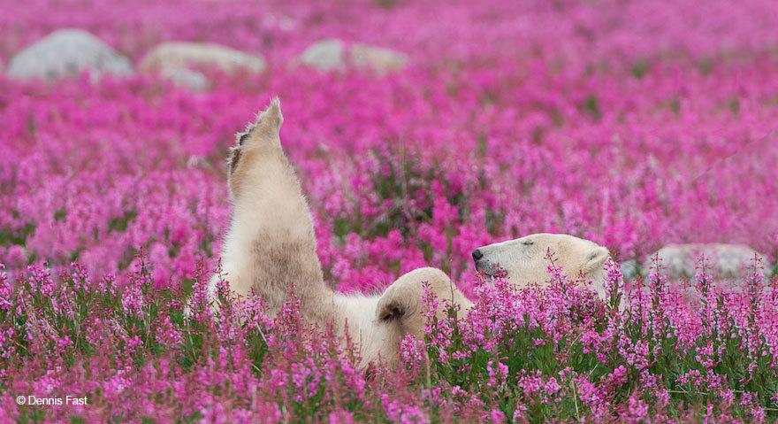 The Cutest Polar Bear You've Ever Seen! Boom! 11
