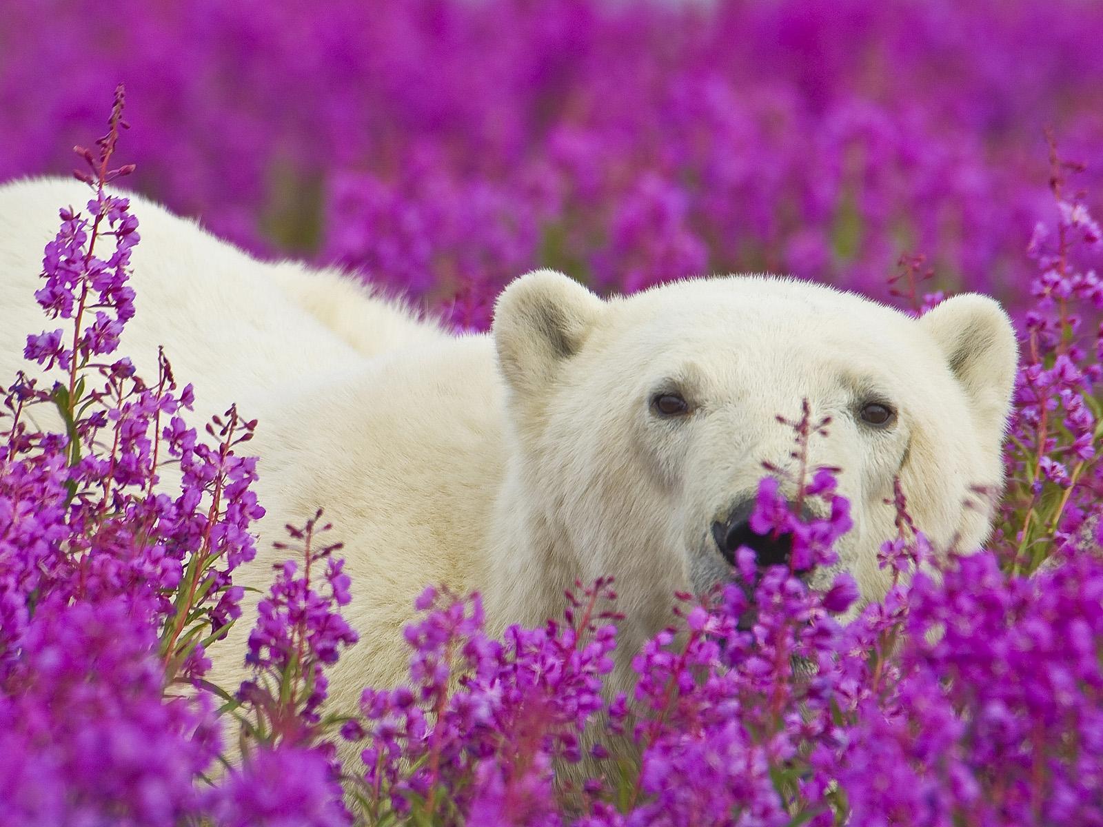 The Cutest Polar Bear You've Ever Seen! Boom! 2