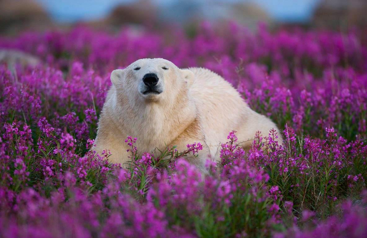 The Cutest Polar Bear You've Ever Seen! Boom! 3