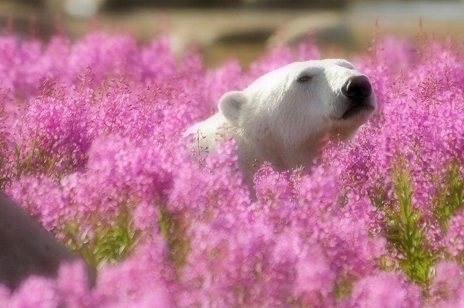 The Cutest Polar Bear You've Ever Seen! Boom! 6