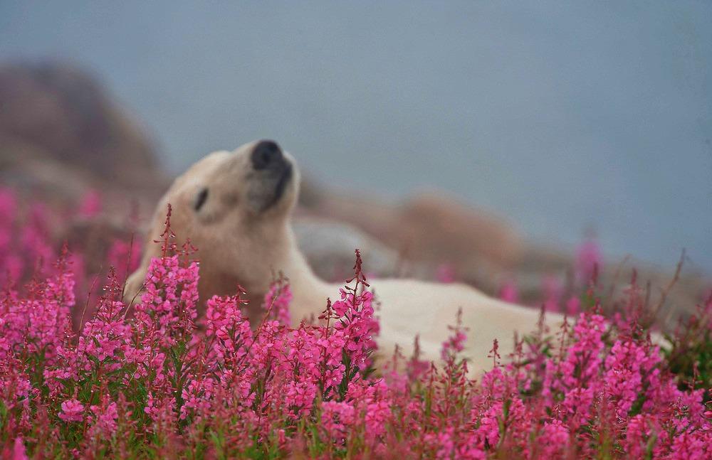The Cutest Polar Bear You've Ever Seen! Boom! 7