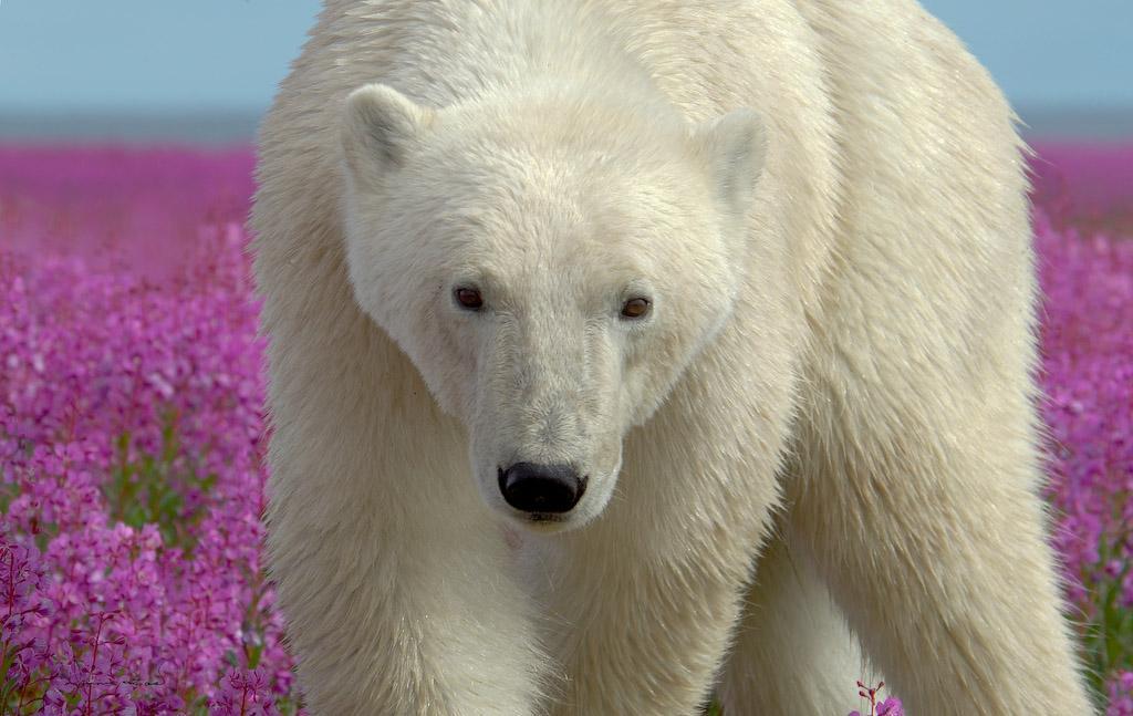 The Cutest Polar Bear You've Ever Seen! Boom! 8