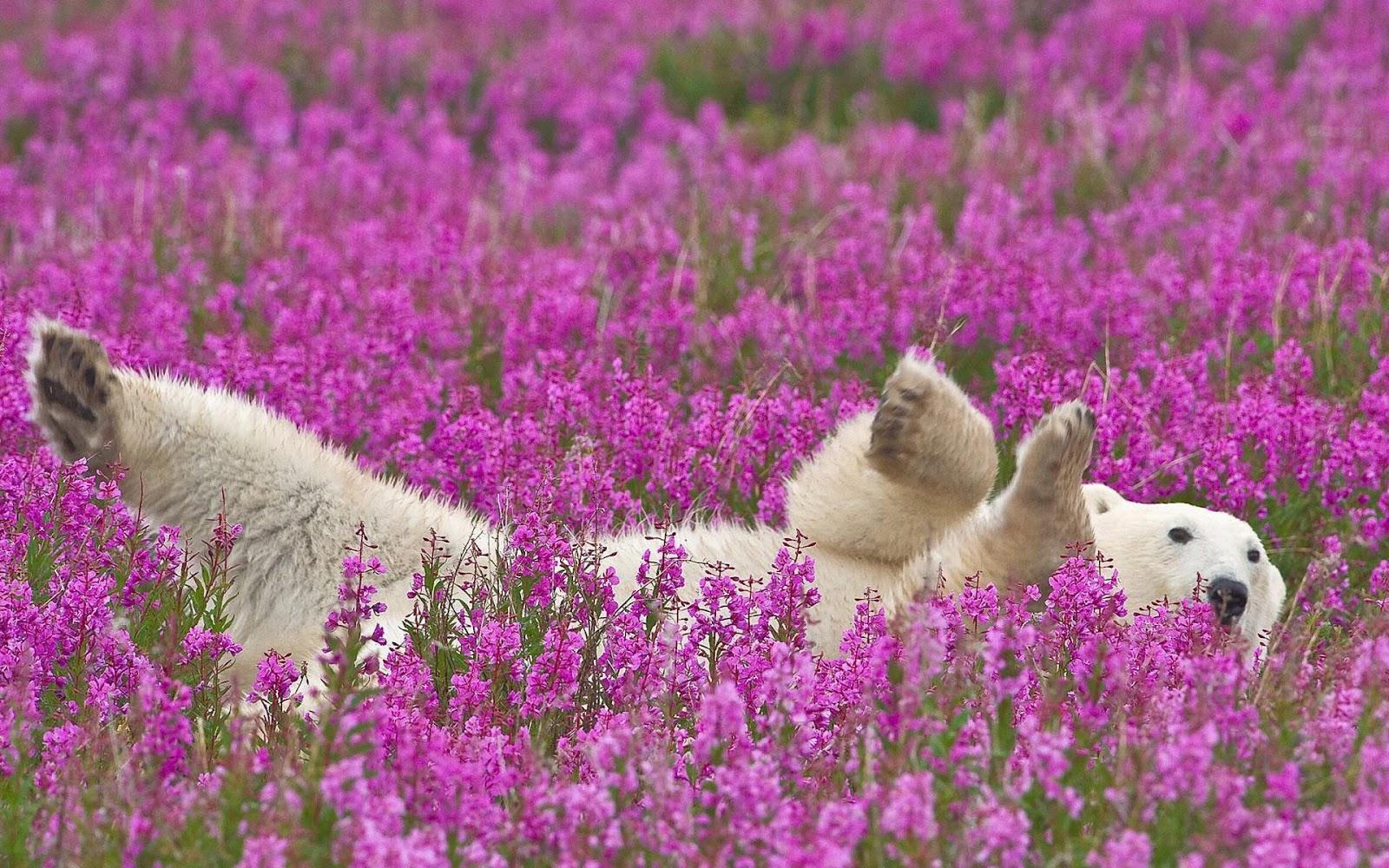The Cutest Polar Bear You've Ever Seen! Boom!
