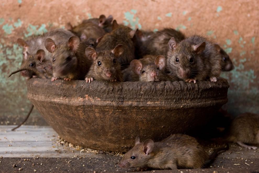 20-facts-15-rats