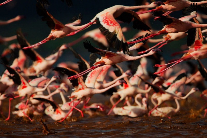 Millions of Pink Flamingos at Lake Nakuru