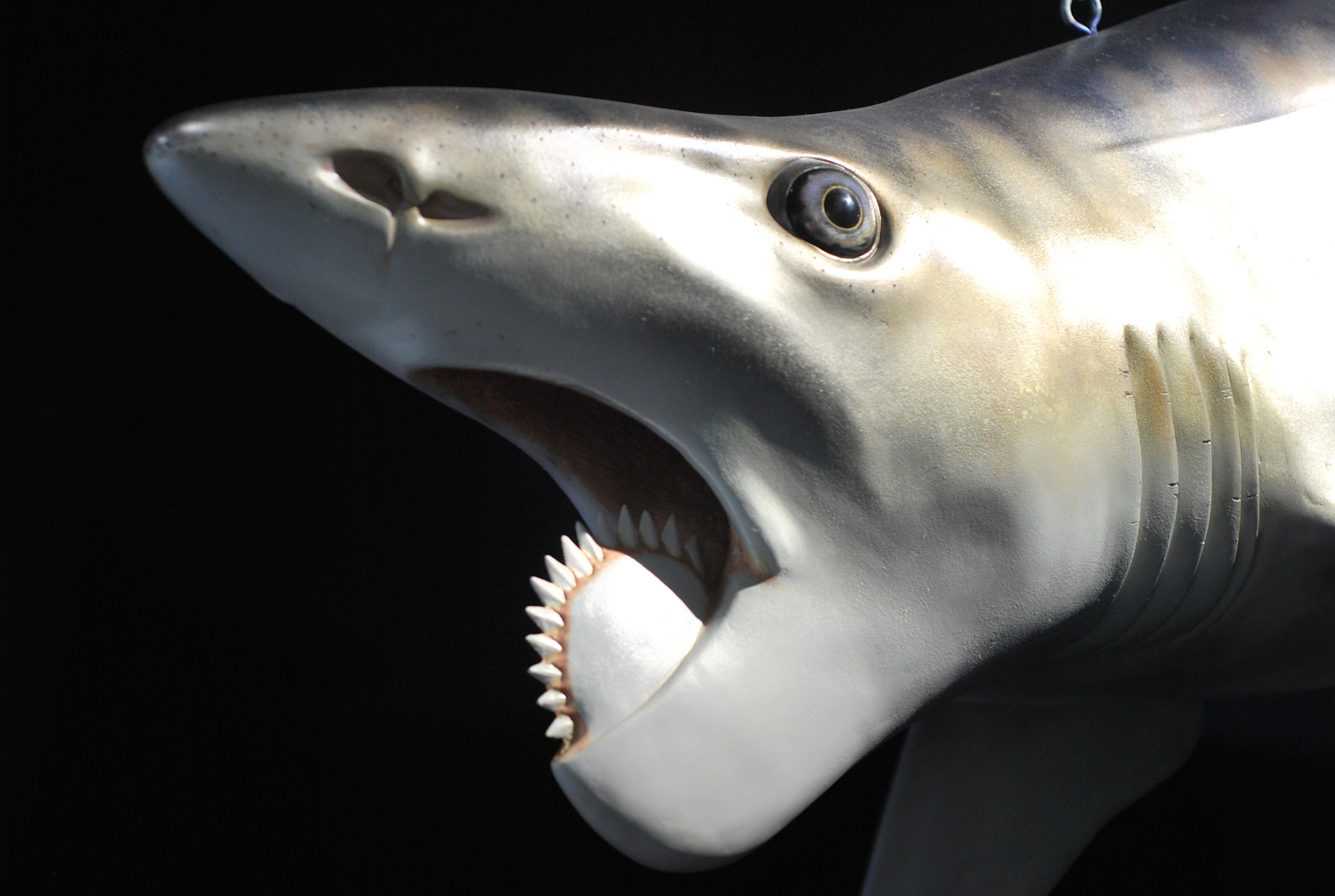 4) Helicoprion