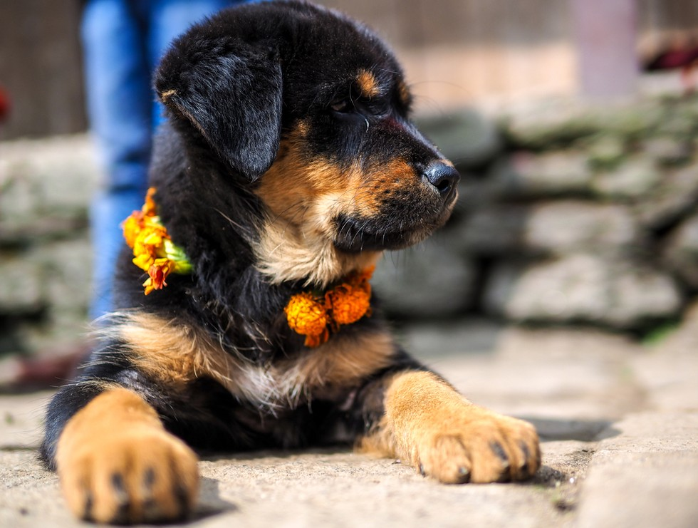 Nepal's Festival To Celebrate Dogs 6