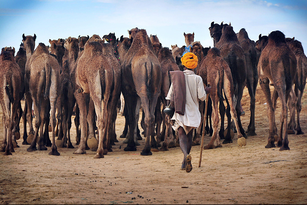 The Pushkar Camel Fair In Rajasthan, India 2