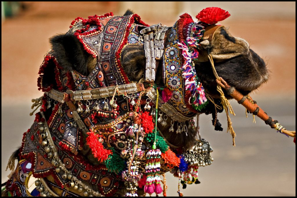 The Pushkar Camel Fair In Rajasthan, India 6