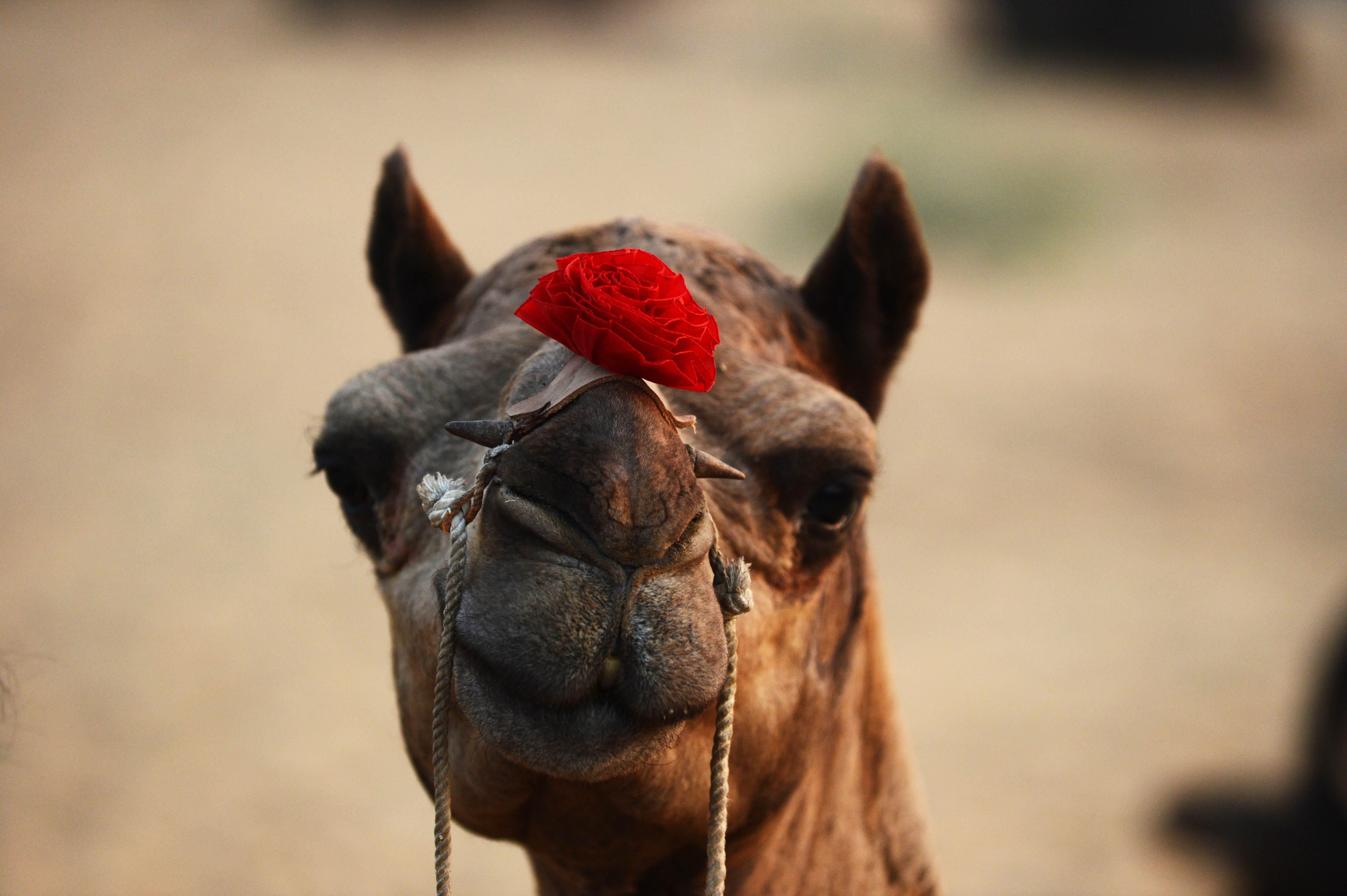 INDIA-CAMEL-FAIR  RAS035