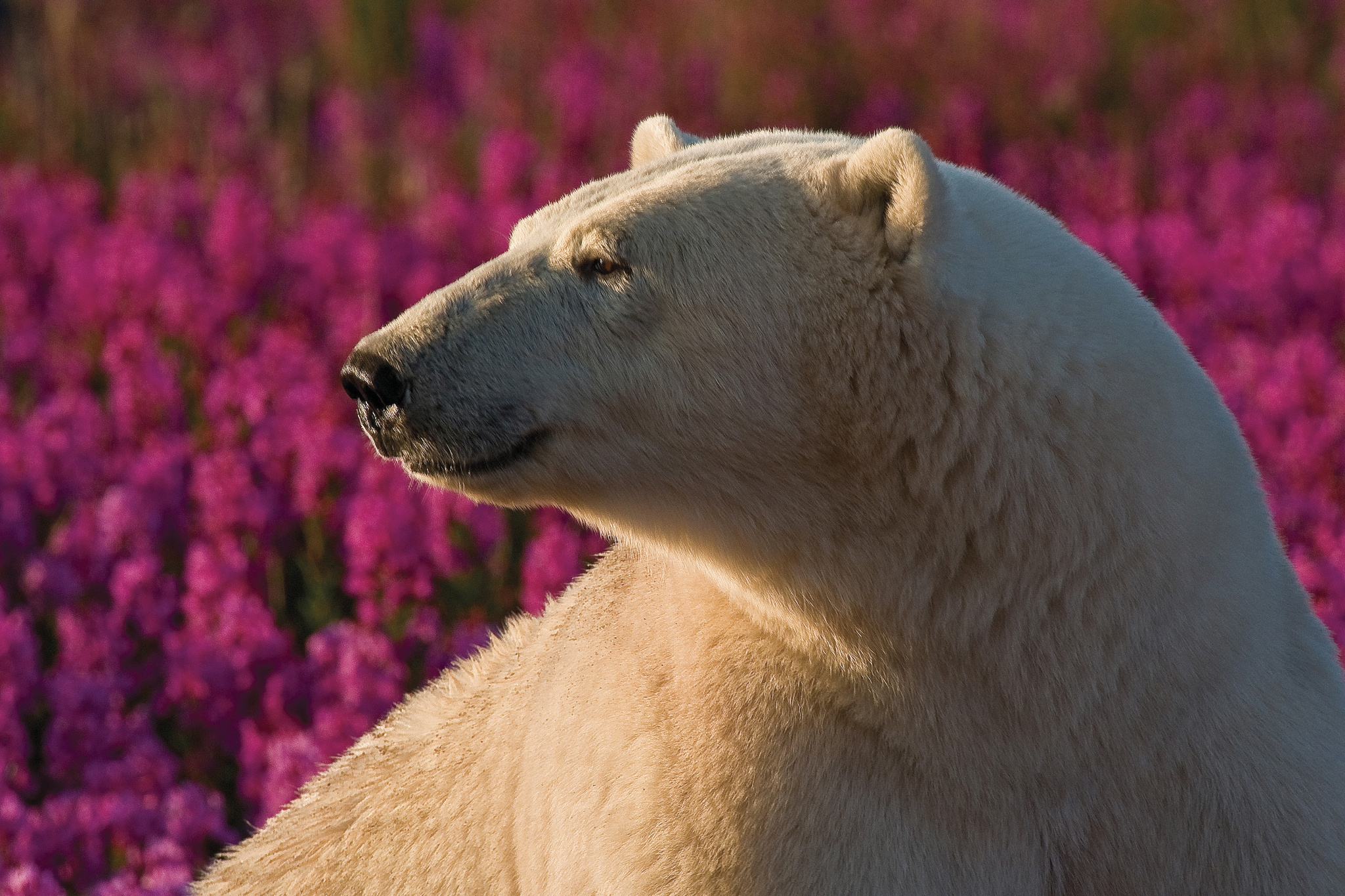 Polar Bear (Ursa maritimus) in fireweed (Epilobium angustifolium) on an island off the sub-arctic coast of Hudson Bay, Churchill, Manitoba, Canada.