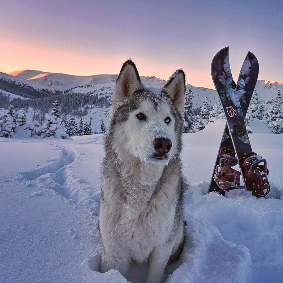 Loki the Wolfdog 11