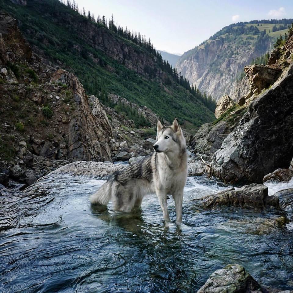 Loki the Wolfdog 12