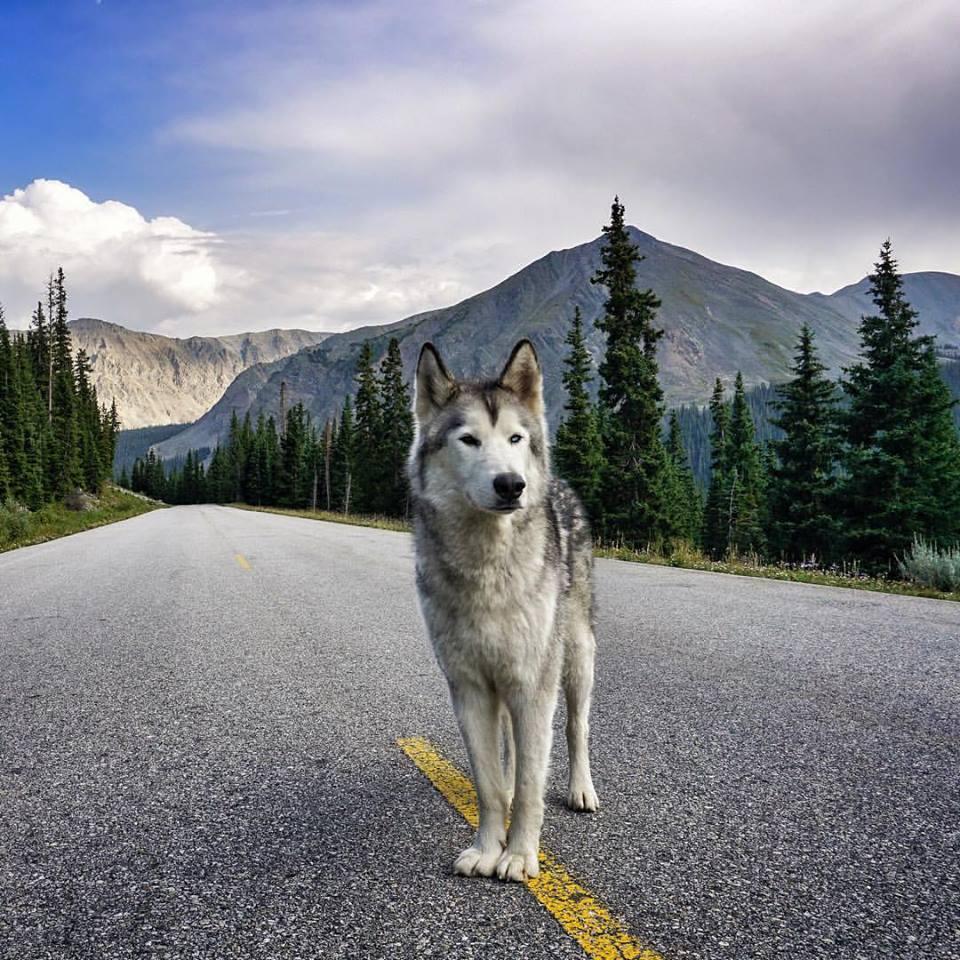 Loki the Wolfdog 6