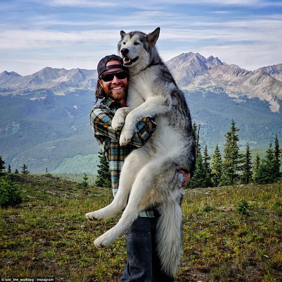 Loki the Wolfdog 7