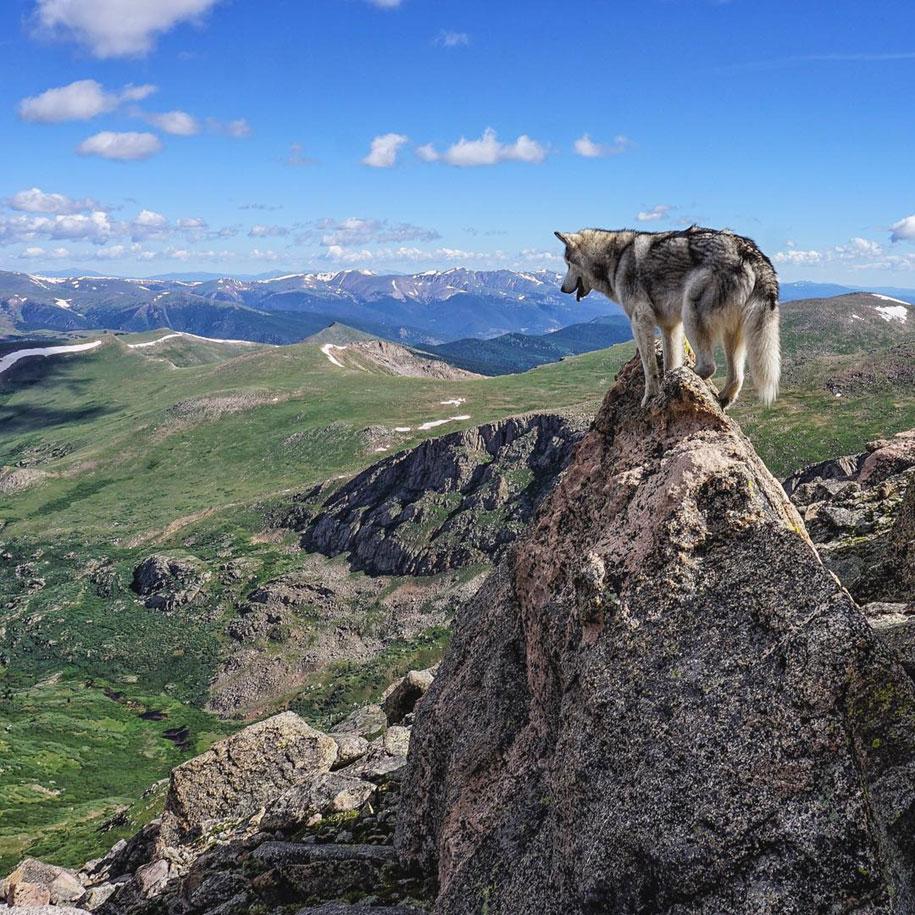 Loki the Wolfdog 9