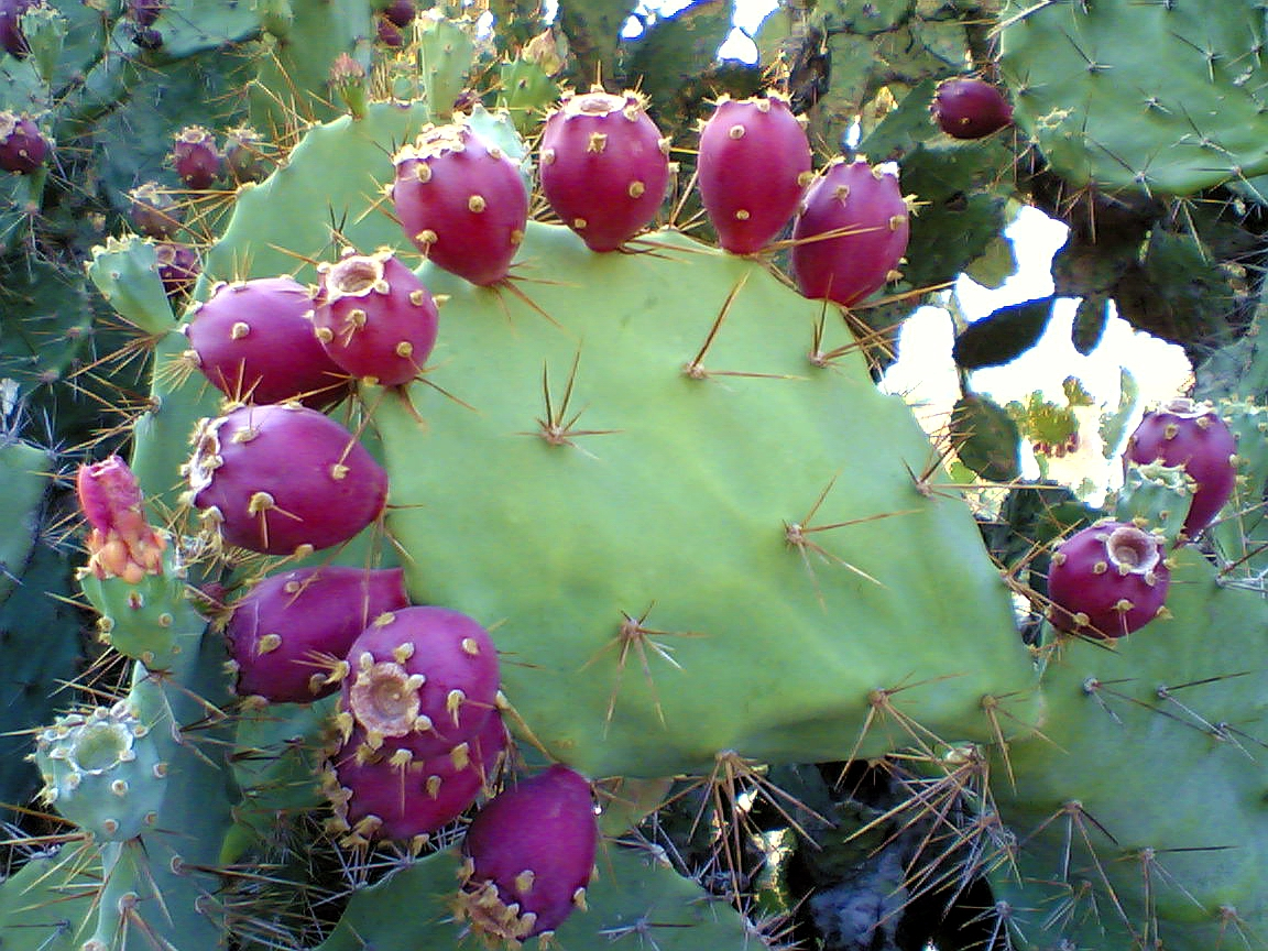 10. Prickly pear cactus fruits 1