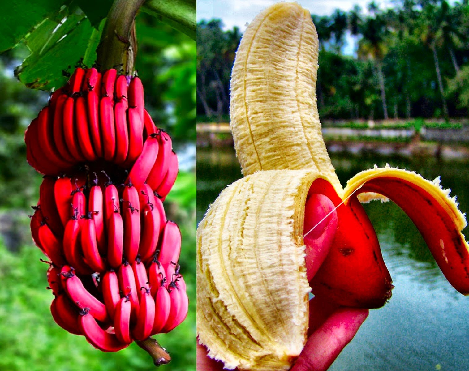 6. Red bananas 1