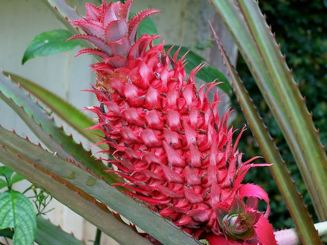7. Red pineapple 2
