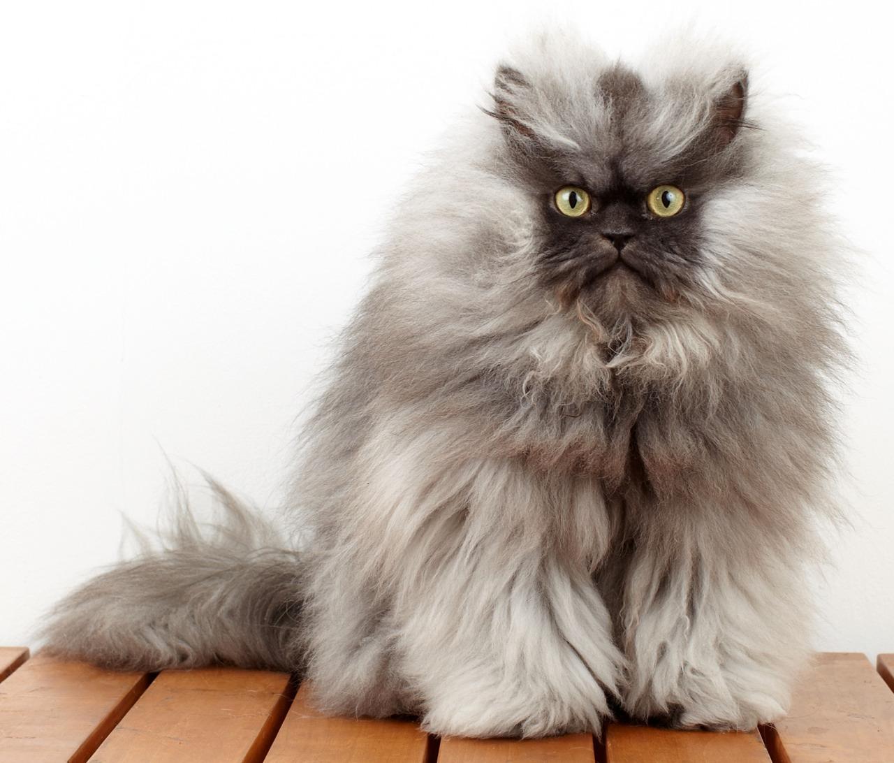 Colonel Meow 1