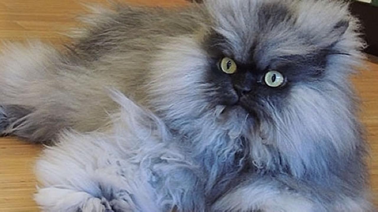 Colonel Meow 3