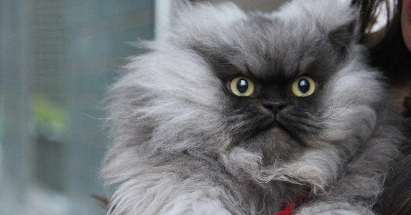 Colonel Meow 4