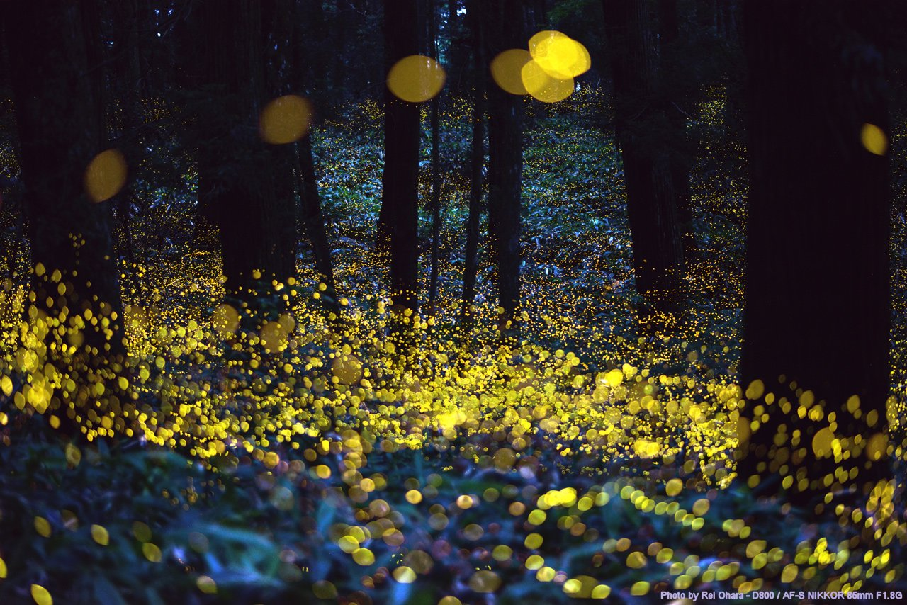 7-Fireflies in a forest, Japan
