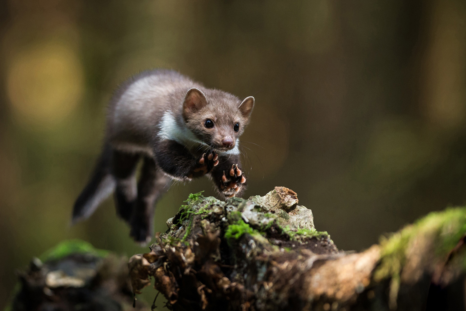 sony-world-photography-08-white-breasted-marten