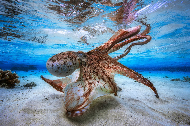 10 Interesting Octopus Facts Straight From an Octopus Himself #2 | Brain Berries