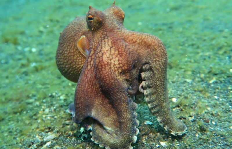 10 Interesting Octopus Facts Straight From an Octopus Himself #4 | Brain Berries
