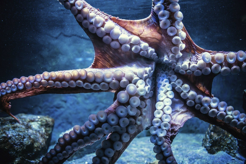 10 Interesting Octopus Facts Straight From an Octopus Himself #5 | Brain Berries