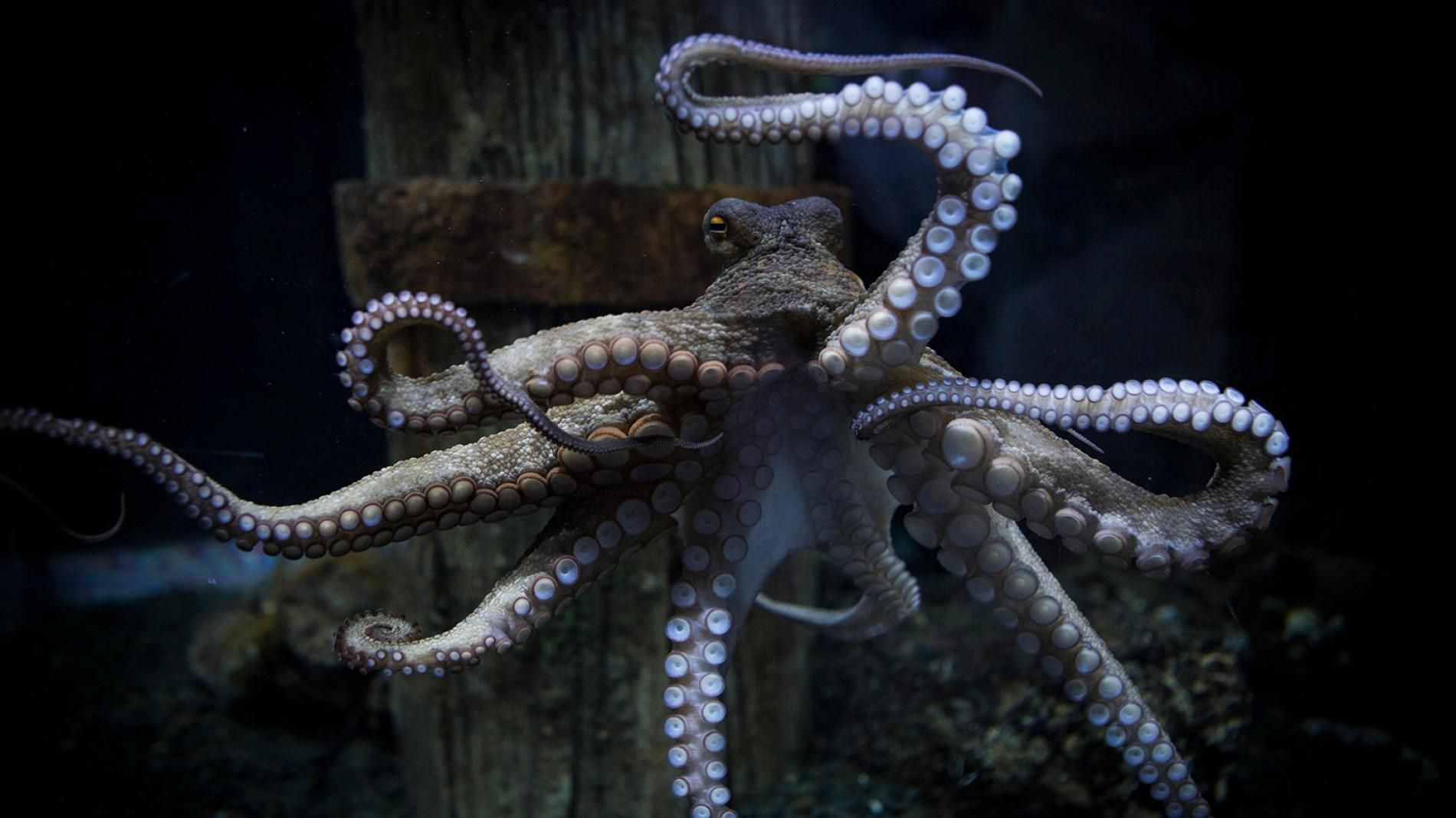 10 Interesting Octopus Facts Straight From an Octopus Himself #6 | Brain Berries