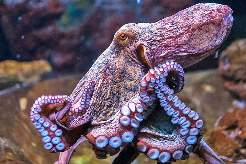 10 Interesting Octopus Facts Straight From an Octopus Himself #9 | Brain Berries
