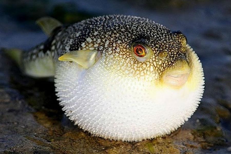 Cá nóc | Những đồ ăn nguy hiểm nhất hành tinh | Brain Berries