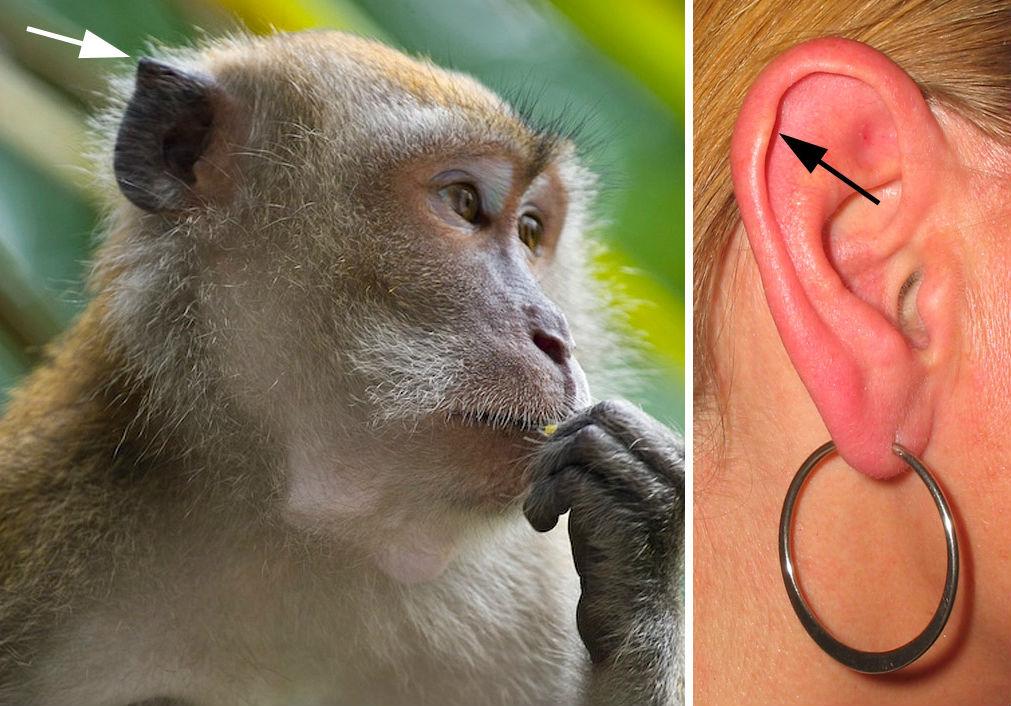 Punctul lui Darwin | 9 Părți Ale Corpului De Care Nu Avem Nevoie | Brain Berries