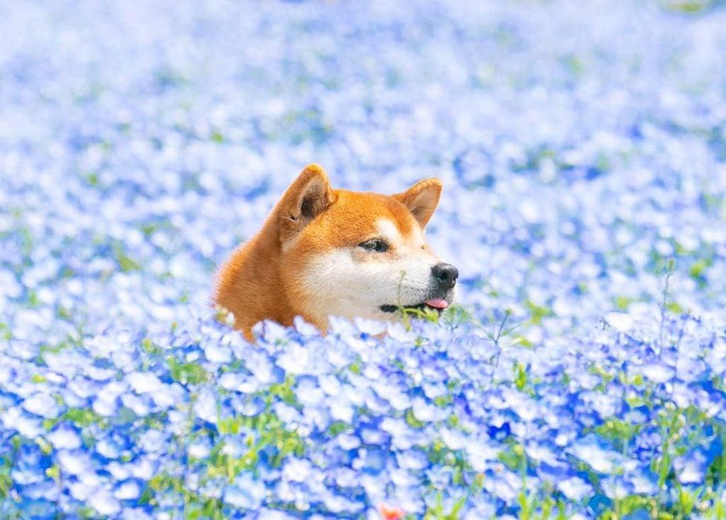 The Happiest Shiba Inu On Instagram #3 | Brain Berries