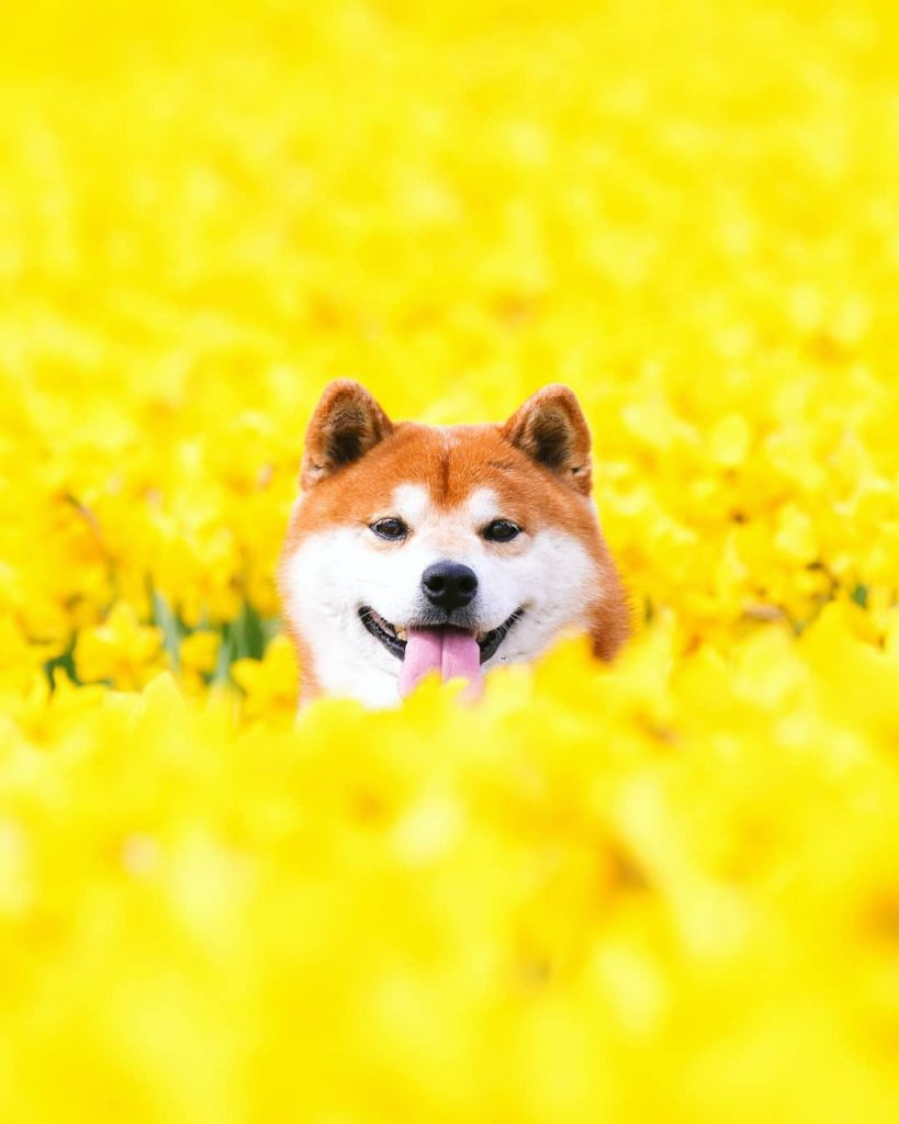 The Happiest Shiba Inu On Instagram #5 | Brain Berries