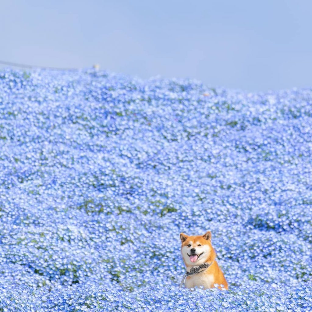 The Happiest Shiba Inu On Instagram #8 | Brain Berries