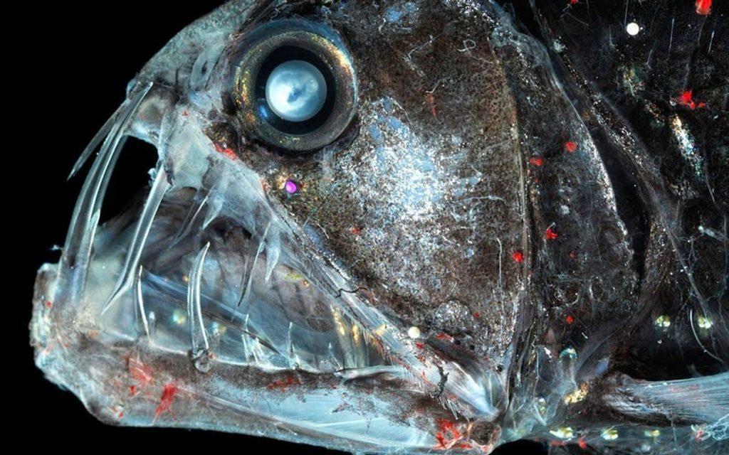 Рыба-гадюка | 10 самых необычных обитателей Марианской впадины | Brain Berries