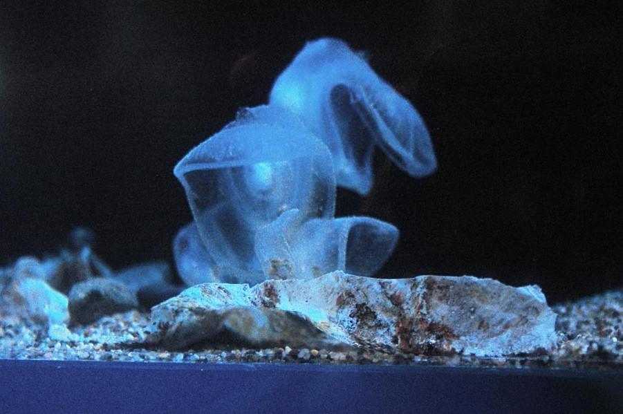Мегалодикопия  | 10 самых необычных обитателей Марианской впадины | Brain Berries
