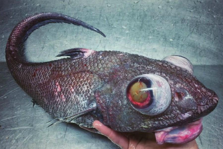 Рыба-гренадер | 10 самых необычных обитателей Марианской впадины | Brain Berries