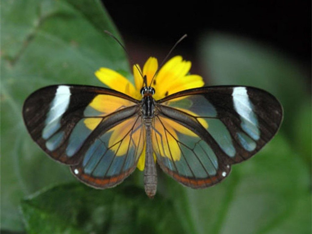 The Glasswing Butterfly | The 7 Most Beautiful Butterflies In The World | BrainBerries