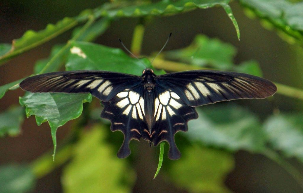 The Sri Lankan Ceylon Rose | The 7 Most Beautiful Butterflies In The World | BrainBerries