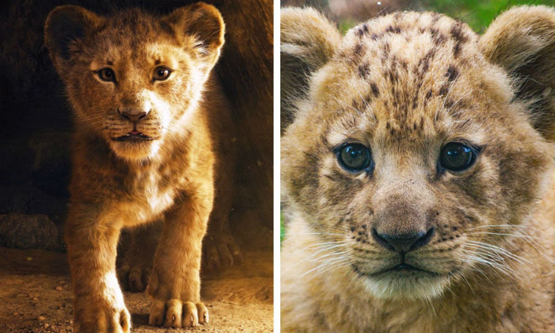 Disney's Live-Action Simba Was Based on the Cutest Lion Cub Ever! | Brain Berries