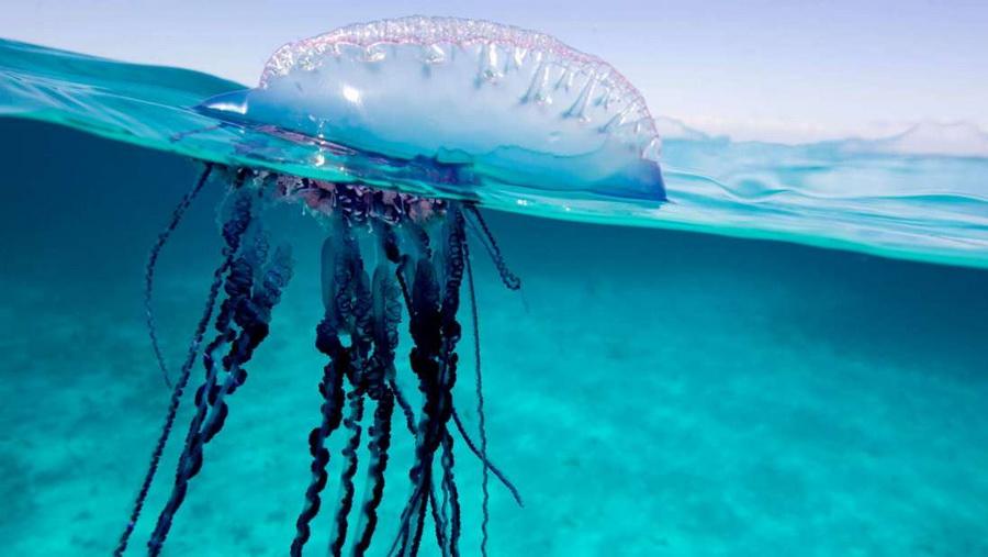 Физалия | Топ-10 самых больших медуз в мире | ZestRadar