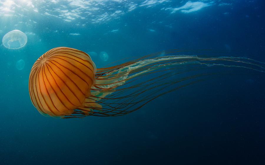 Медуза Хризаора | Топ-10 самых больших медуз в мире | ZestRadar