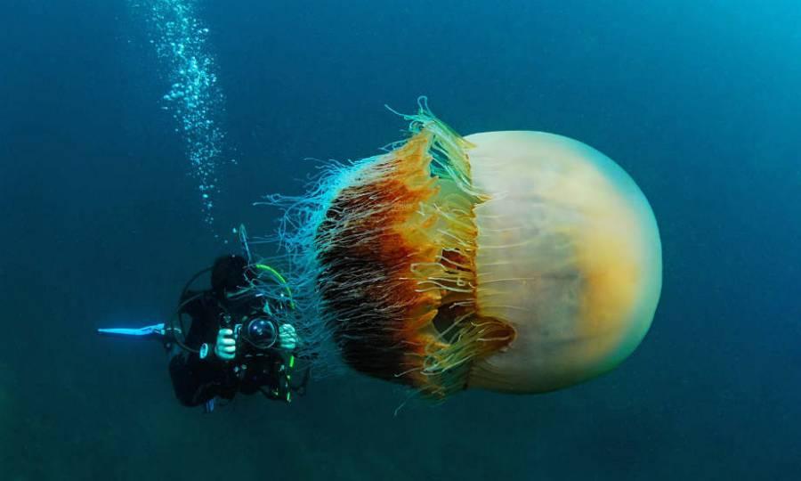 Колокол Номура | Топ-10 самых больших медуз в мире | ZestRadar
