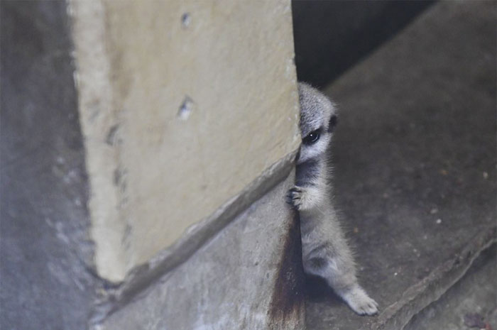 Photographer Captures A Shy Baby Meerkat, And It's Cute Beyond Words #1 | ZestRadar