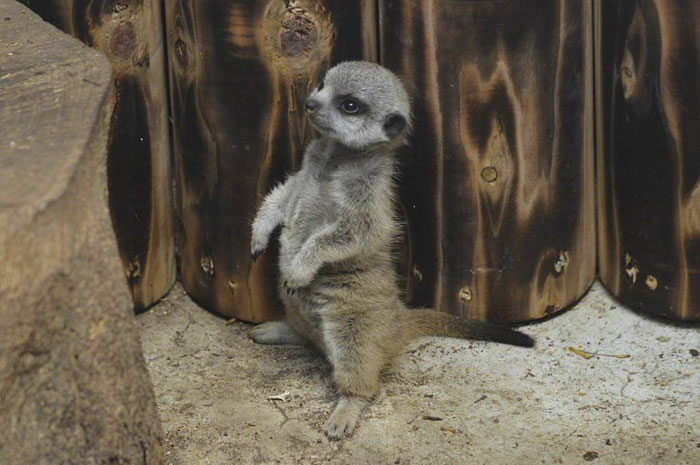 Photographer Captures A Shy Baby Meerkat, And It's Cute Beyond Words #7 | ZestRadar
