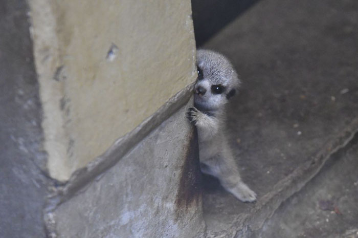 Photographer Captures A Shy Baby Meerkat, And It's Cute Beyond Words #2 | ZestRadar